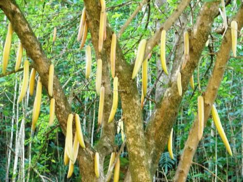 Свечные деревья (Candle tree)