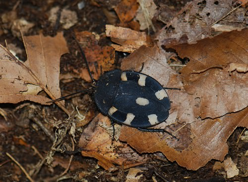 Таракан-домино или шахматный таракан (лат. Therea bernhardti)