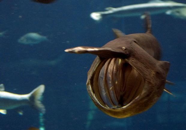Веслонос (лат. Polyodon spathula) (англ. Paddlefish)