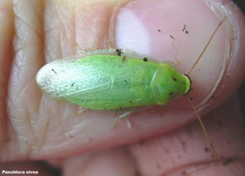 Зеленый банановый таракан (лат. Panchlora nivea) (англ. Green banana cockroach)