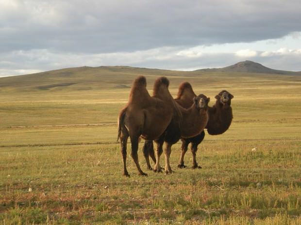 Двугорбый верблюд или бактриан (лат. Camelus bactrianus) (англ. Bactrian camel)
