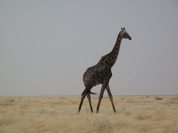 Жираф (лат. Giraffa camelopardalis) (англ. Giraffe)