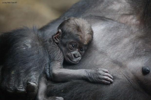 Гориллы (лат. Gorilla) (англ. Gorilla)