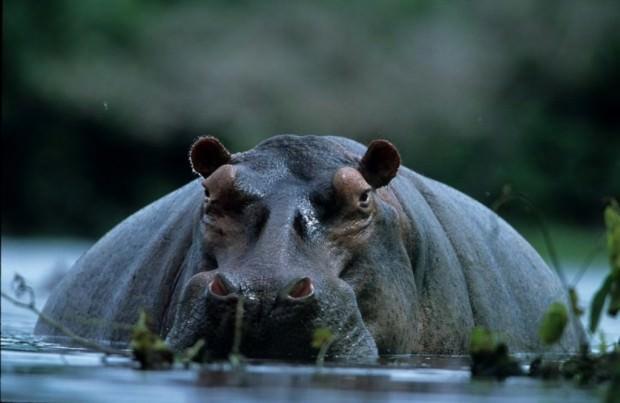Обыкновенный бегемот или гиппопотам (лат. Hippopotamus amphibius) (англ. Hippopotamus)