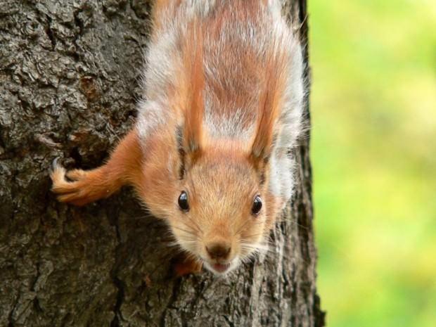 Обыкновенная белка или векша (лат. Sciurus vulgaris) (англ. Red Squirrel)