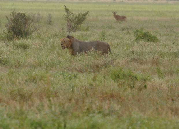 Львы (лат. Panthera leo) (англ. Lions)