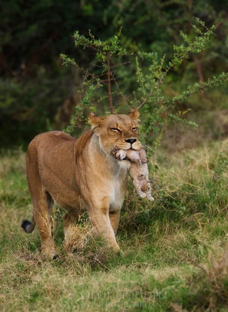 лев отец знакомится со своими львятами