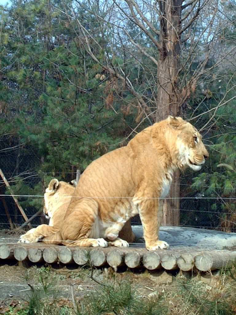 male lion weight - 670×893