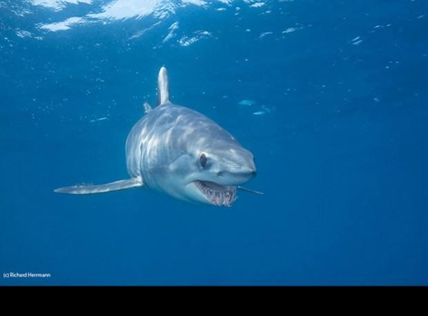 Акула-мако или серо-голубая акула (лат. Isurus oxyrinchus) (англ. Shortfin mako)