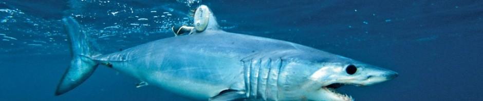 Акула-мако или серо-голубая акула (лат. Isurus oxyrinchus)