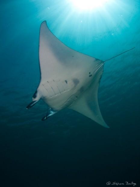 Скат манта или гигантский морской дьявол (лат. Manta birostris) (англ. Giant Manta Ray)