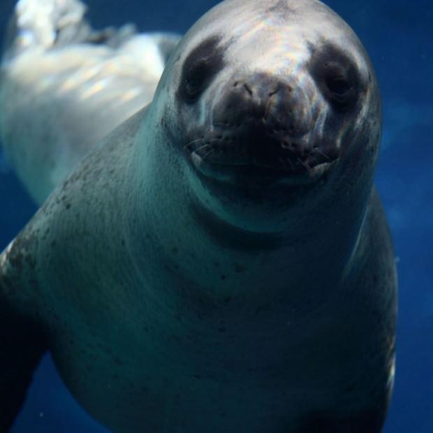 Морской леопард (лат. Hydrurga leptonyx) (англ. Leopard Seal)