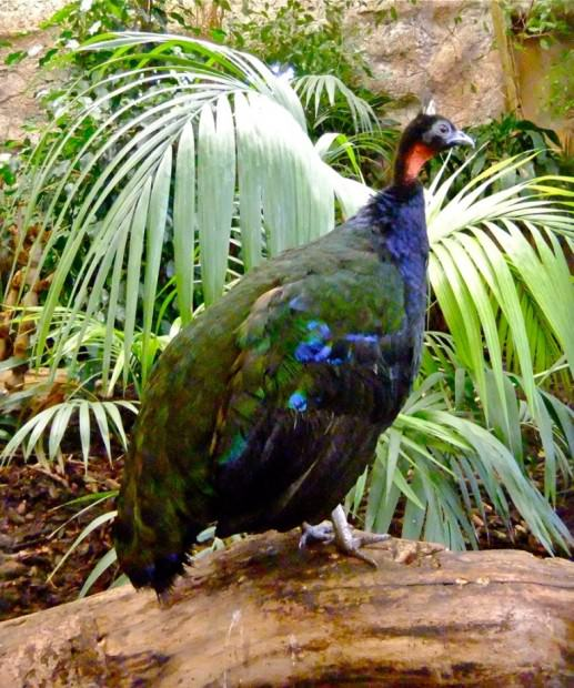 Конголезский или африканский павлин (лат. Afropavo congensis)