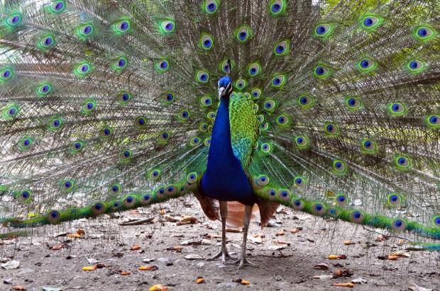 Павлины (лат. Pavo) (англ. Peacock)