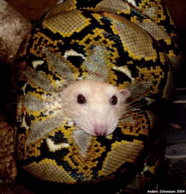 Сетчатый питон (лат. Python reticulatus) (англ. Reticulated python)