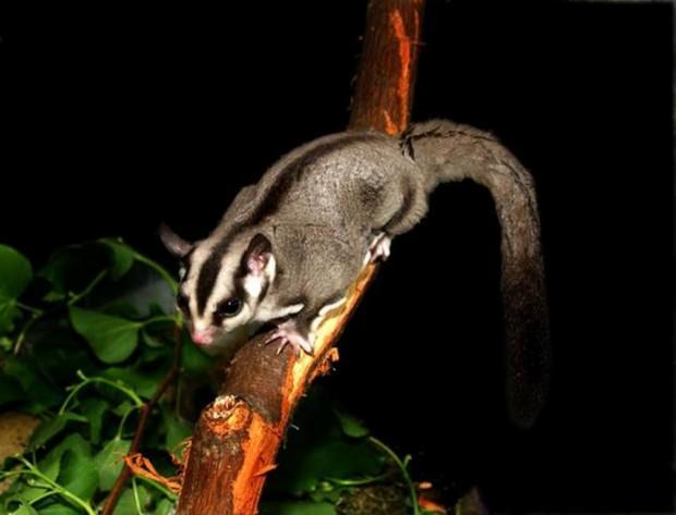 Сахарный летающий поссум или карликовая сумчатая летяга (лат. Petaurus breviceps) (англ. Sugar glider)