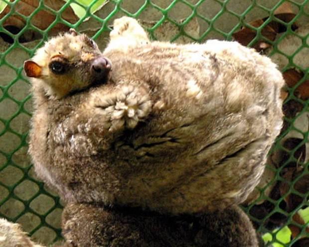 Филиппинский шерстокрыл или кагуан (лат. Cynocephalus volans) (англ. Philippine Flying Lemur)