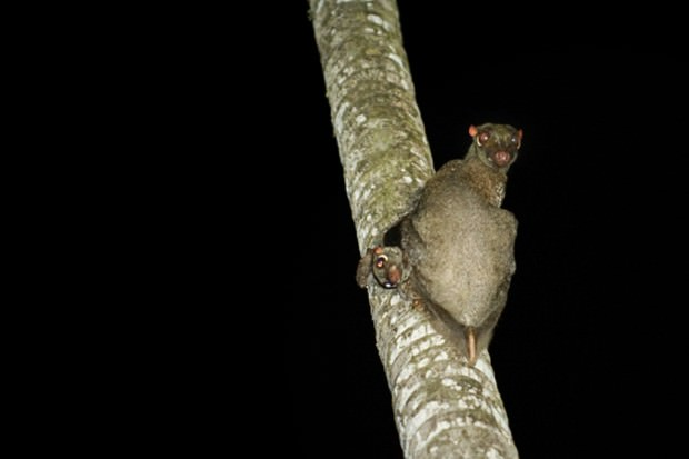 Филиппинский шерстокрыл или кагуан (лат. Cynocephalus volans) (англ. Philippine Flying Lemur)