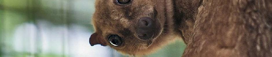 Филиппинский шерстокрыл или кагуан (лат. Cynocephalus volans)