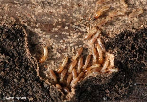 Термиты (лат. Isoptera) (англ. Termites, White Ants)