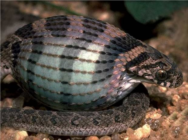Африканская яичная змея или африканский яйцеед (лат. Dasypeltis scabra) (англ. African Egg-Eating Snake)