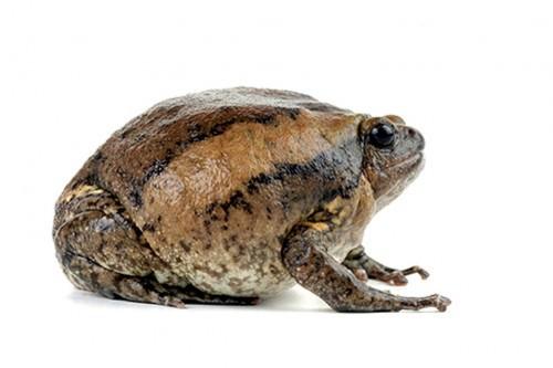 Лягушка украшенная бычья или украшенный узкорот (лат. Kaloula pulchra) (англ. Asian Painted Frog, Chubby Frog, Banded Bull Frog, Rice Frog, Bubble Frog, Painted Bullfrog)