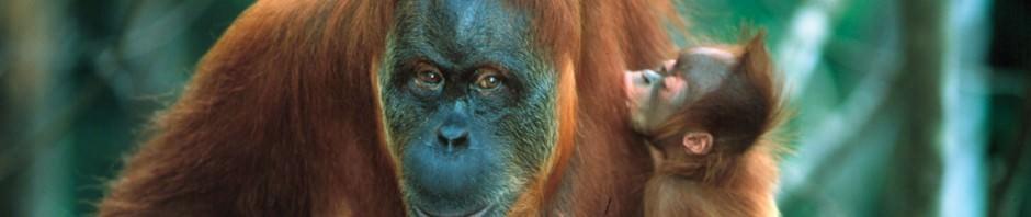 Орангутаны (лат. Pongo)
