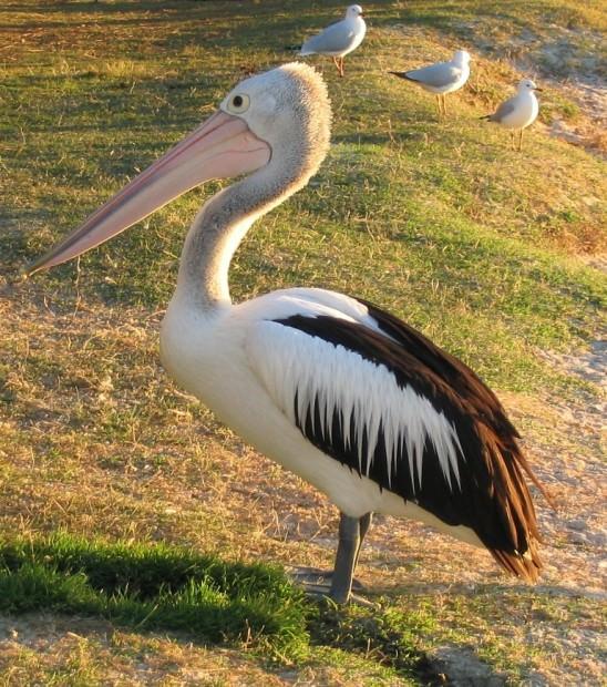 Австралийский очковый пеликан (лат. Pelecanus conspicillatus)(англ. Australian Pelican)
