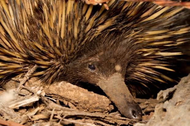 Австралийская ехидна (лат. Tachyglossus aculeatus) (англ. Short-beaked Echidna)