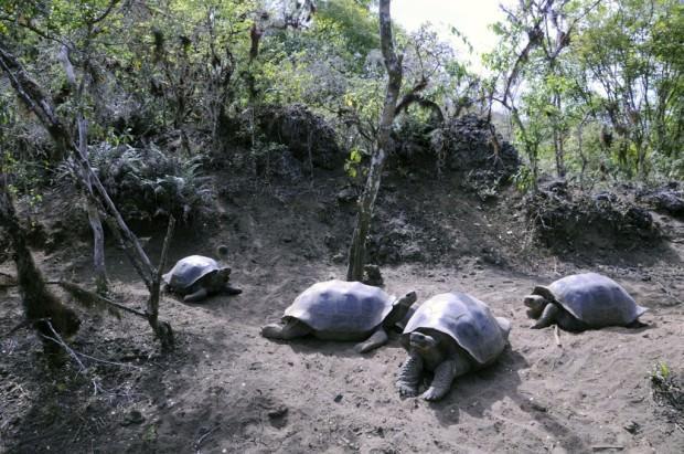 Галапагосская или слоновая черепаха (лат. Chelonoidis elephantopus) (англ. Galapagos tortoise or Galapagos giant tortoise)