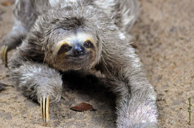 Ленивцы (лат. Bradypodidae) (англ. Three-toed sloths)