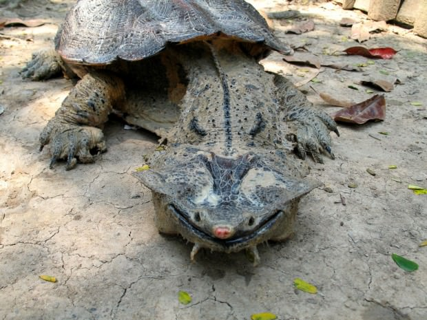 Бахромчатая черепаха или матамата (лат. Chelus fimbriatus) (англ. Mata-Mata)