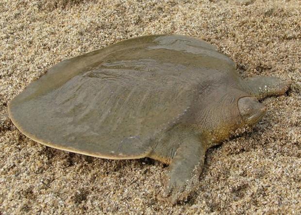 Большие мягкотелые черепахи (лат. Pelochelys) (англ. Giant Softshell Turtle)