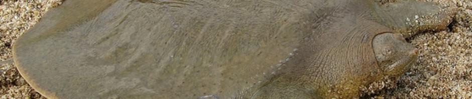 Большие мягкотелые черепахи (лат. Pelochelys)