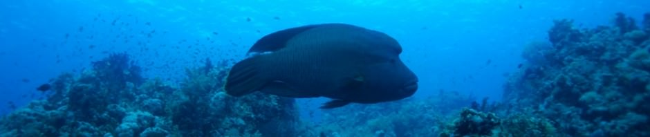 Рыба-наполеон (лат. Cheilinus undulatus)