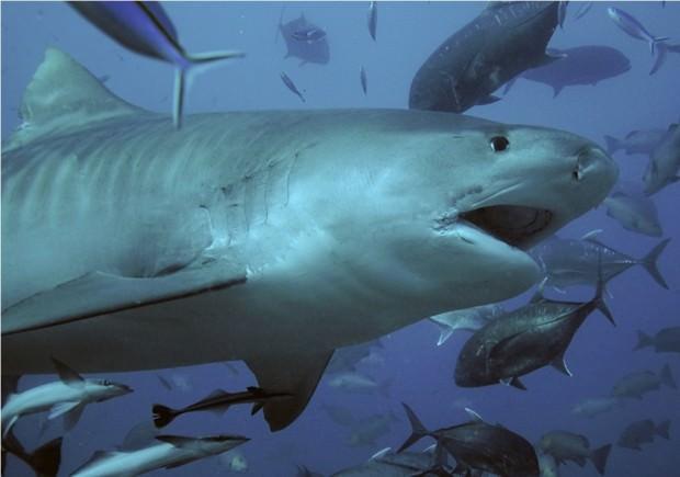 Тигровая акула (лат. Galeocerdo cuvier) (англ. Tiger Shark)