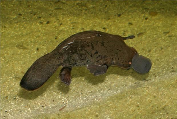 Утконос (лат. Ornithorhynchus anatinus) (англ. Duckbill Platypus)