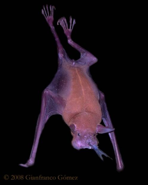 Большой зайцегуб или летучая мышь-рыболов (лат. Noctilio leporinus) (англ. Bulldog or Fisherman Bat)