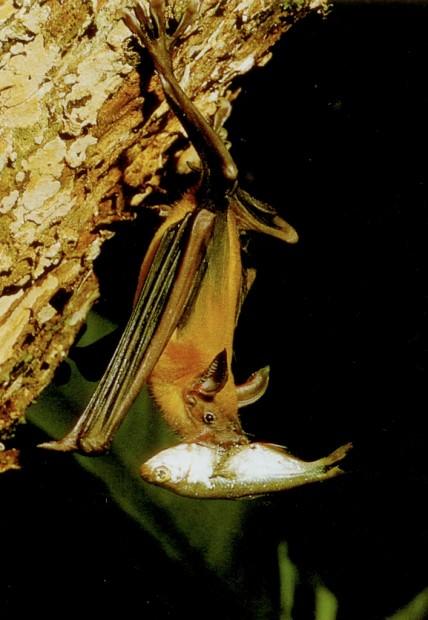 Большой зайцегуб или летучая мышь-рыболов (лат. Noctilio leporinus)