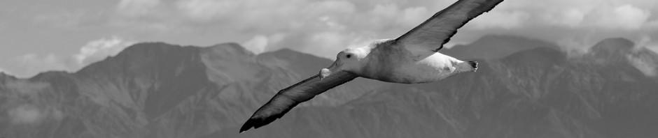 Странствующие альбатросы (лат. Diomedea exulans)