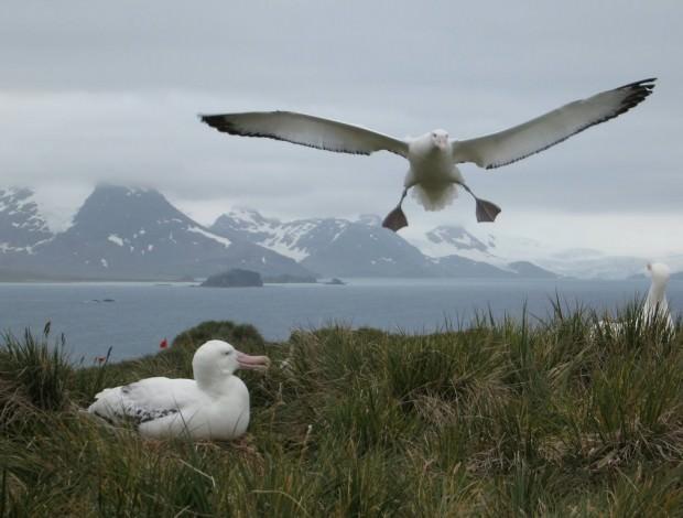 Странствующие альбатросы (лат. Diomedea exulans)(англ. Wandering Albatross)