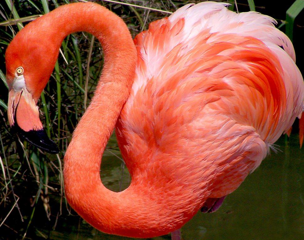 Фламинго обои для рабочего стола картинки и фото