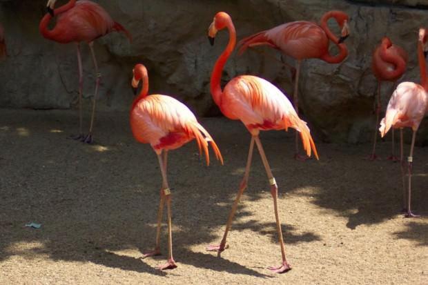 Красный фламинго (лат. Phoenicopterus ruber) (англ. American flamingo)
