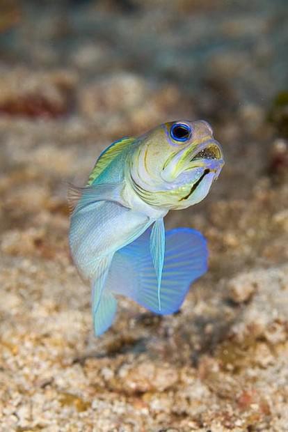 Желтоголовый большерот (лат. Opistognathus aurifrons) (англ. Yellow-headed jawfish)