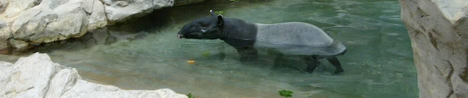 Чепрачный или малайский тапир (лат. Tapirus indicus)
