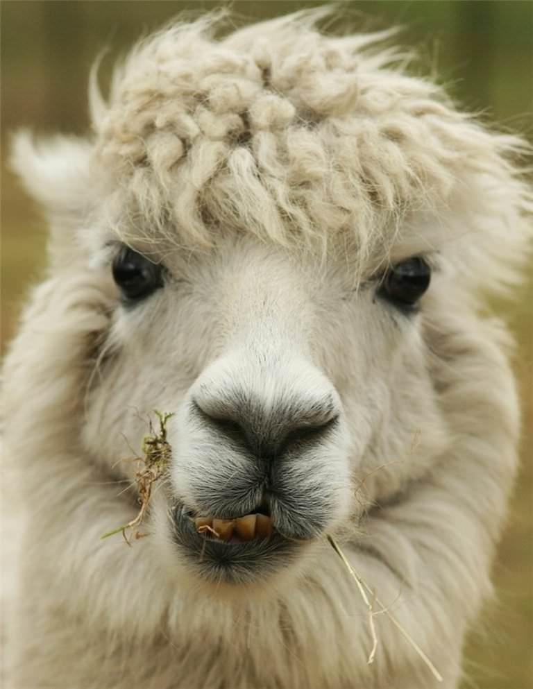 вид ламы