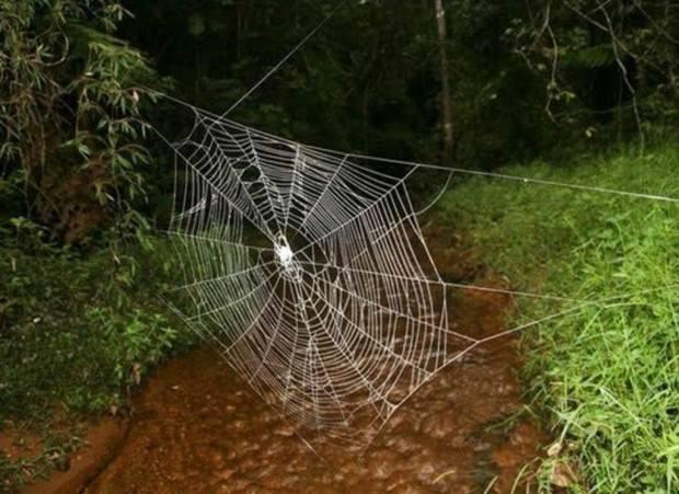 Мадагаскарский паук Caerostris darwini (лат. Caerostris darwini) (англ. Darwin's bark spider)