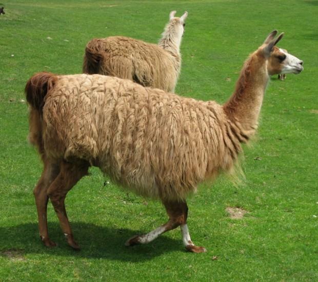 Ламы (лат. Lama) (англ. Lama)