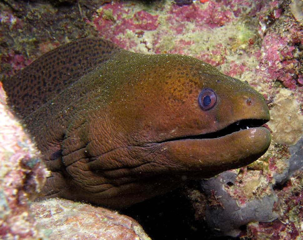 фото мурена рыба