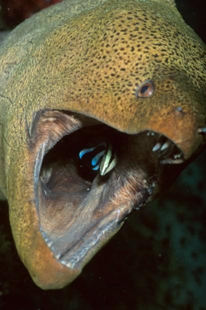Гигантская мурена (лат. Gymnothorax javanicus) (англ. Giant moray)